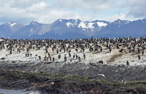 King Cormorant colony, Argentina Photo