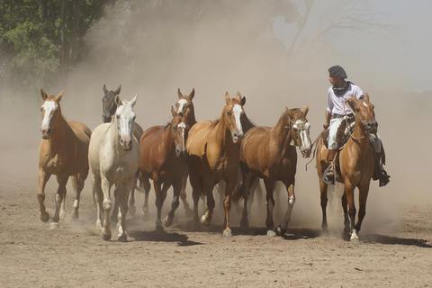 Argentinian Horses, Pampa, Argentina Photo