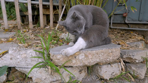 Cute gray and white cat begins grooming and licking his leg outside while Image