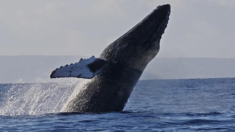 Extremely rare shot of a full Humpback Whale breach Footage