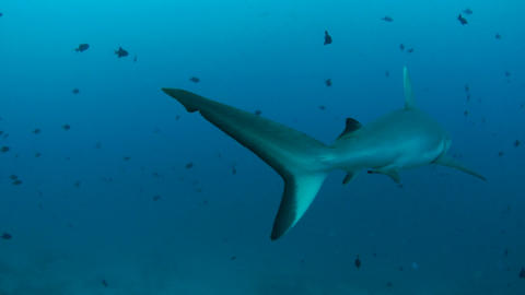 Gray Reef Shark Footage