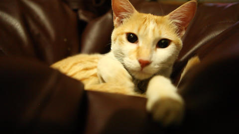 Cat Sitting On Sofa stock footage