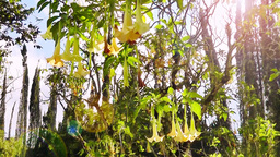 Tropical tree with large flowers that sway in the wind in the sun Footage