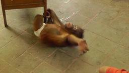 Baby orangutan is playing ,Bali Archivo