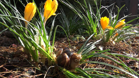 Early spring. Spring flowers crocuses and grape snail Live Action
