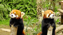 Red pandas are in the Zoo Archivo