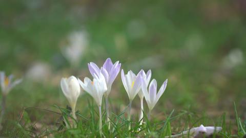 Crocus blooming Image