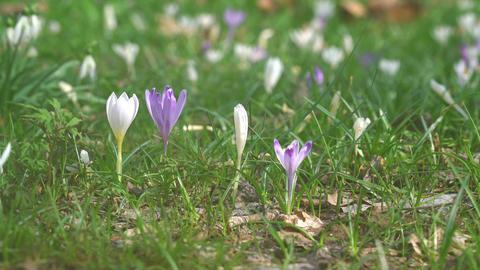 Crocus blooming GIF