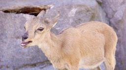 One little cute mountain newborn goat goatling playing on rocks. Small yeanling ビデオ