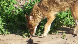 Hungry golden jackal sniffing ground in forest. Canis aureus golden wolf hunting Footage