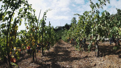 Rows of grapes on wooden props ready to be picked in vineyard Footage
