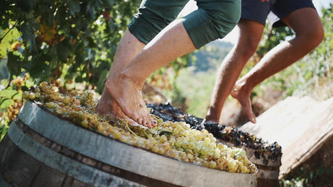 Two pair of men feet stomps grapes at winery making wine Live Action