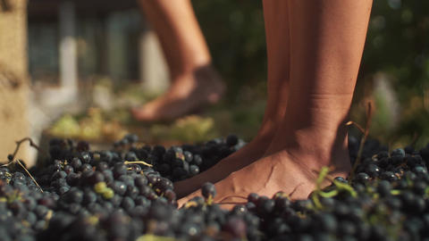 Two pair of female feet stomps grapes at winery making wine Footage
