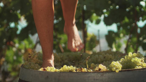 Female legs stomping white grapes in wooden barrel Footage