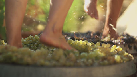 Two pair of male legs stomps grapes at winery making wine Live Action