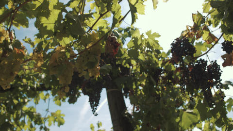 Grape herbs with berries hanging on supports at vinery Footage