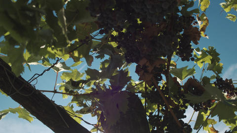 Grape plants with berries hanging on mainstays at vinery Footage