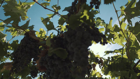 Grape herbs with berries hanging on mainstays at vinery Footage