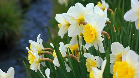 Spring. Flowering narcissus ライブ動画