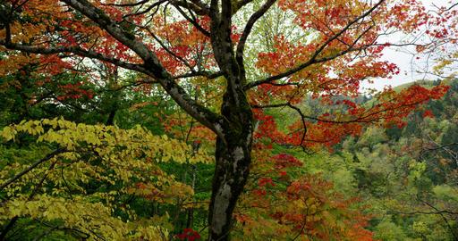 4K Hokkaido Autumn leaves 北海道の紅葉 ライブ動画