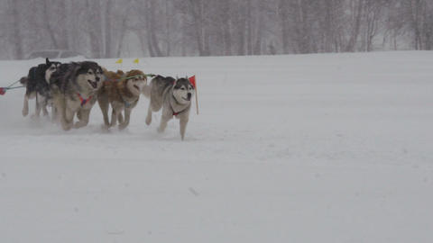 Husky dog team with rider participates in the race Footage