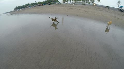 Two dogs running off leash, playing, and frolicking together in the ocean Footage