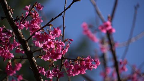 Cherry blossom in spring 影片素材