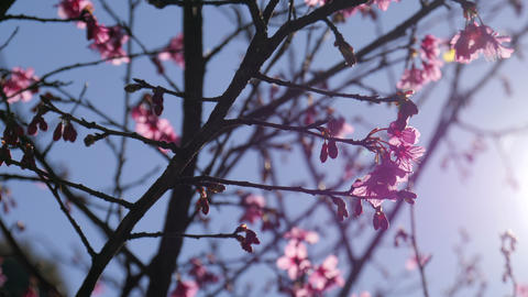 Pink cherry blossom with sunshine at spring time Live Action