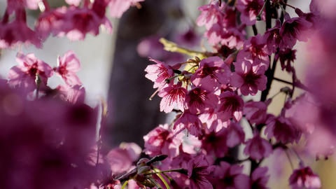 Cherry blossom in spring time 画像