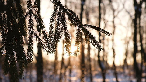 Spruce branch swinging in the wind at sunset, the snow…, Live Action