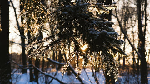 The ray of the sun shines through the spruce branch, the sunset in the winter in Footage