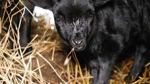 Two cute black lambs chew hay in a stable close-up, 4k Footage