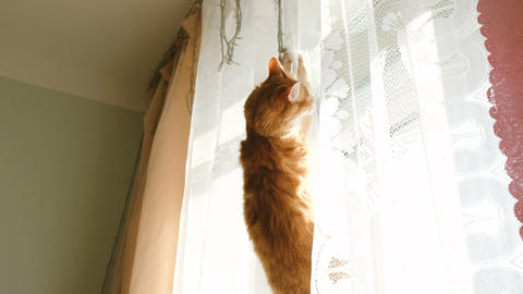 Red cat hanging on curtain and falling down Stock Video Footage