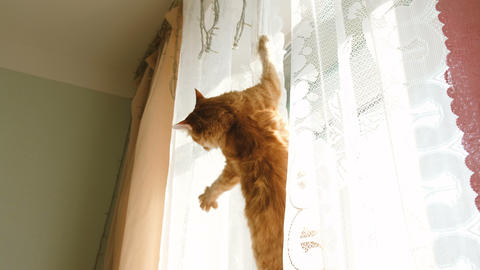 Red cat hanging on curtain and falling down Footage