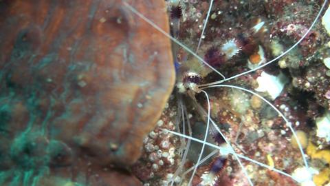 Banded Coral Shrimp ビデオ