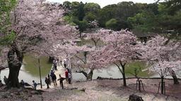 4K Nara park Spring ビデオ