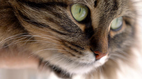 Cute muzzle of a fluffy tabby cat Live Action