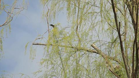 Weeping Willow / Wild Bird / Sky 영상물