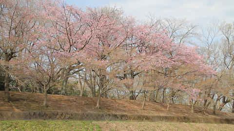 Row of Cherry Blossom Trees (Prunus kanzakura Oh-kanzakura) Footage
