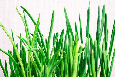 Sprouts of green onions on a white background Photo