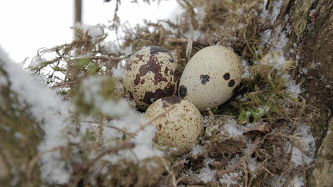 A nest filled with three bird eggs in the branches of a tree. Winter Footage