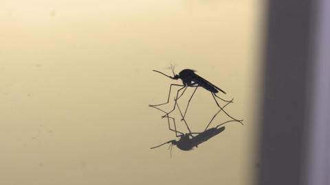 Side profile of a mosquito on a reflective surface Live Action