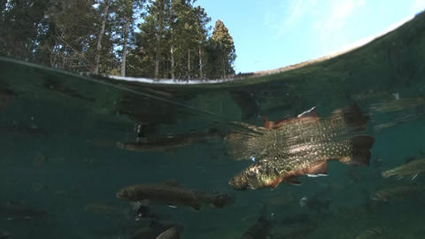 Split water shot of trout rising to a dry fly. Braking surface and swallowing a Footage