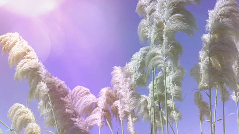 Reeds waving in the wind. Natural background Stock Video Footage