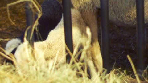 little newborn lamb, runs around the barn Footage