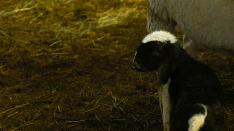 little black newborn lamb, runs around the barn Footage