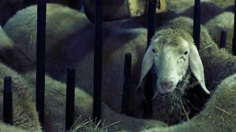 shooting a pile of sheep eating in the barn Footage