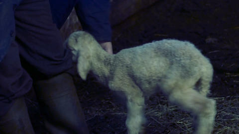 freshly born lamb turns around the farmer's legs Footage