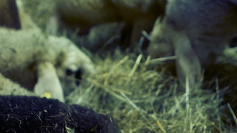 tracking shot on sheep that eat in the barn Footage