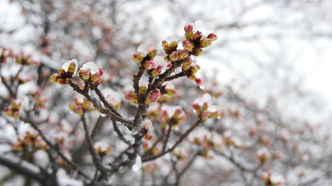 Cherry blossoms or sakura buds in the snow Footage